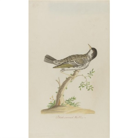 black crowned warbler by john abbot