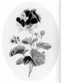 study of a geranium by valentine bartholomew