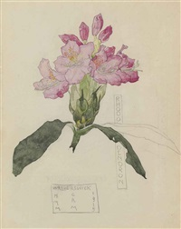 study of a rhododendron by charles rennie and margaret macdonald mackintosh