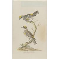 yellow-rump warbler by john abbot