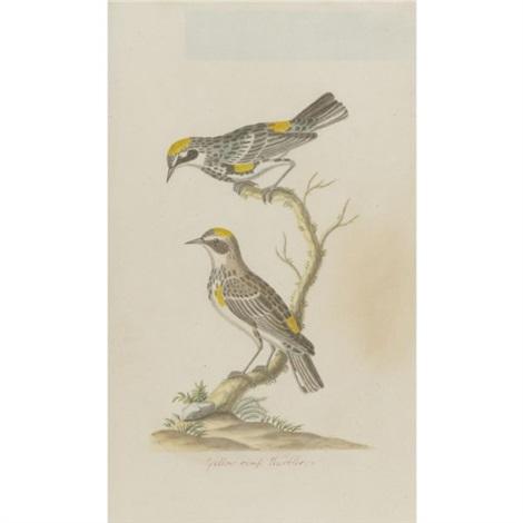 yellow rump warbler by john abbot