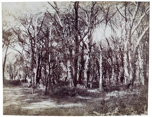 arbres study by fratelli alinari