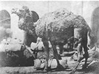 camel by ernest benecke