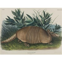 nine-banded armadillo, male, pl. cxlvi (by j.t. bowen) by john woodhouse audubon
