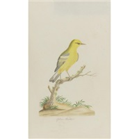 yellow warbler by john abbot
