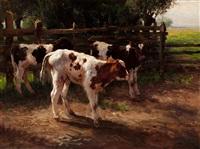 calves by a fence by fedor van kregten