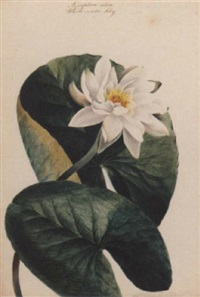nympea alba, a white water lily by sarah amy miller