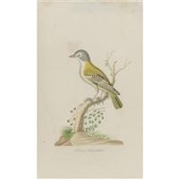 solitary flycatcher by john abbot