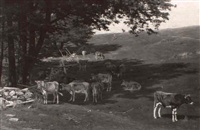 cattle in a sunny pasture by thomas allen jr.