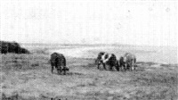 cows grazing near plymouth by charles henry hayden
