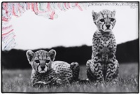 orphaned cheetah cubs in mweiga nr. nyeri, kenya by peter beard