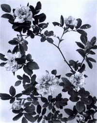 rose cinnamomea, cinnamon rose (+ spiraea salicifolia, meadow-sweet; 2works) by edwin hale lincoln