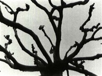 tree, monterey, california by dr. leonard b. loeb