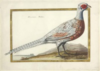 phasianus faisan by claude aubriet