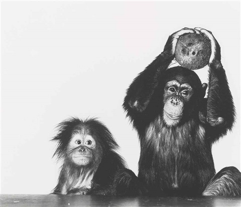 orangutan and chimpanzee with coconut new york oct 12 by irving penn