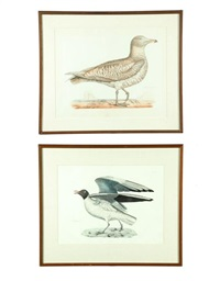 iceland gull (+ black headed gull; 2 works) by prideaux john selby