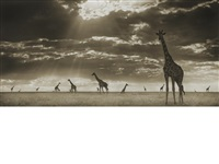 giraffes in evening light, massai mara by nick brandt