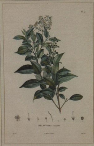 six varieties of melastoma botanicals by pierre jean françois turpin