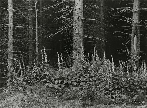 fingerhut am waldrand foxglove at the edge of the woods by albert renger patzsch