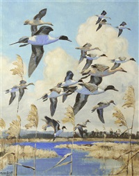 pintails piling in by peter markham scott