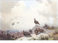 covey of red grouse by john cyril harrison