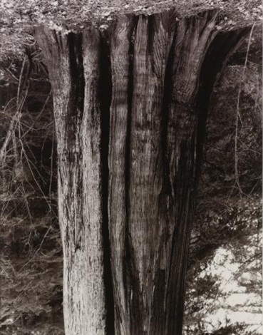 stanley park cedar by rodney graham