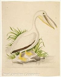 georgia pelican by john abbot