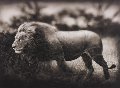 windswept lion serengeti by nick brandt