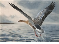pink-footed goose taking flight by john cyril harrison