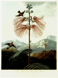 large flowering sensitive plant by j.c. stadler