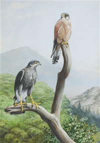 madeiran sparrow hawk and canarian kestrel by david morrison reid henry