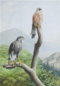 madeiran sparrow hawk and canarian kestrel by david morrison reid henry