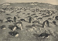 on the penguinery, cape royds (26 november 1911) by herbert george ponting