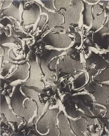 hamamelis japonica by karl blossfeldt
