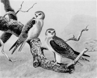a pair of immature black-winged kites by george morrison reid henry