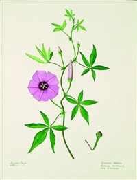 ipomoea cairica, rarawa (new zealand convolvulus) by audrey eagle