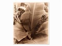 banana leaf by albert renger-patzsch
