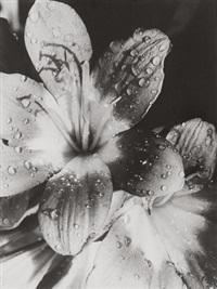 amaryllis by elisabeth hase
