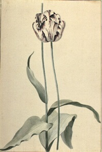 red and white tulip by vincent laurensz van der vinne the younger