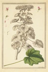 géranium avec des études subsidiaires des fleurs et d'une feuille by claude aubriet