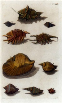 d'amboinsche rariteitkamer - conchological studies by george eberhard rumpf
