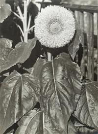 gefüllte sonnenblume (from schönheit des unscheinbaren) by albert renger-patzsch
