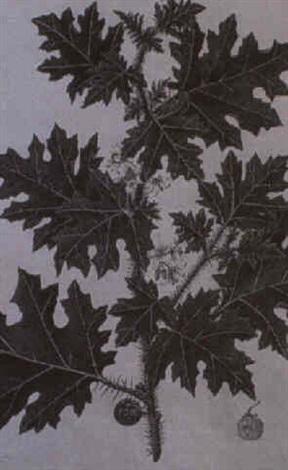 two studies of plants solanum aculeatissimum glatanus orientalis by baldassare cattrani