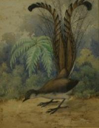 superb lyrebird by neville william cayley