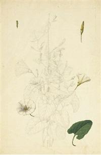 volubilis avec des études subsidaires des fleurs et d'une feuille (+ un chardon; 2 works) by claude aubriet