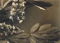 fleurs de marronnier by jean-marie auradon