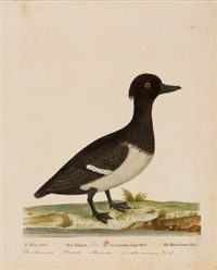 diverse vögel (6 works from a natural history of birds) by eleazar albin