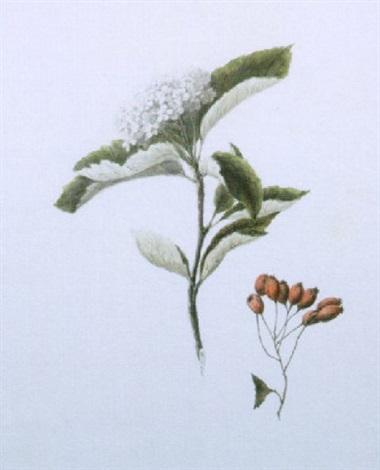 crataegus aria white beam by louisa countess of aylesford
