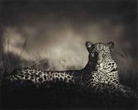 leopard staring, masai mara by nick brandt