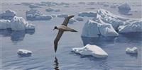 albatross in flight by keith shackleton